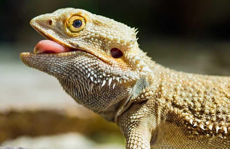 tailsnteeth-baby-bearded-dragon-feeding-reptile-dragon-desert-lizard-pogona-vitticeps