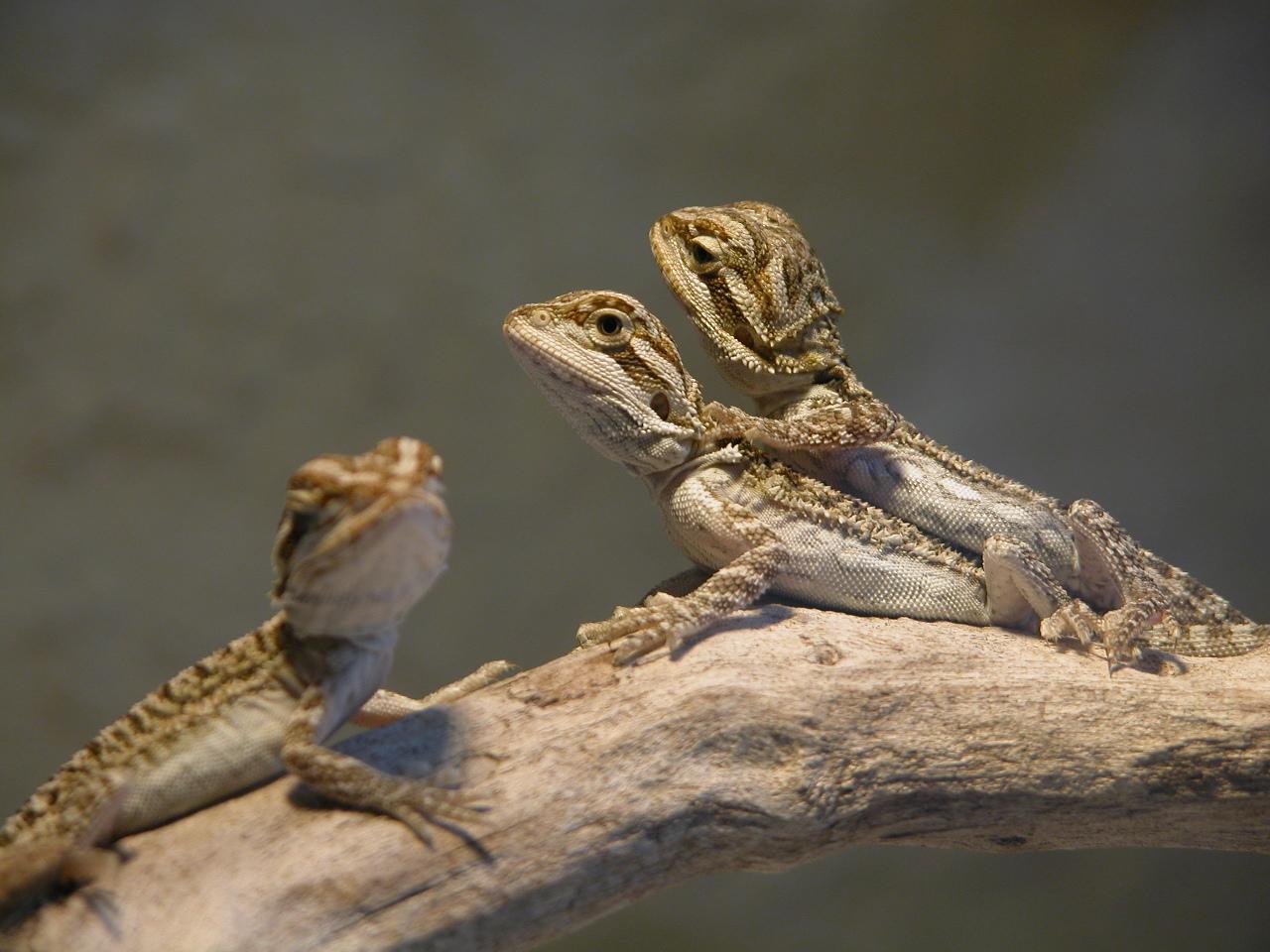 tailsnteeth-bearded-dragon-pogona-vitticeps-desert-lizard
